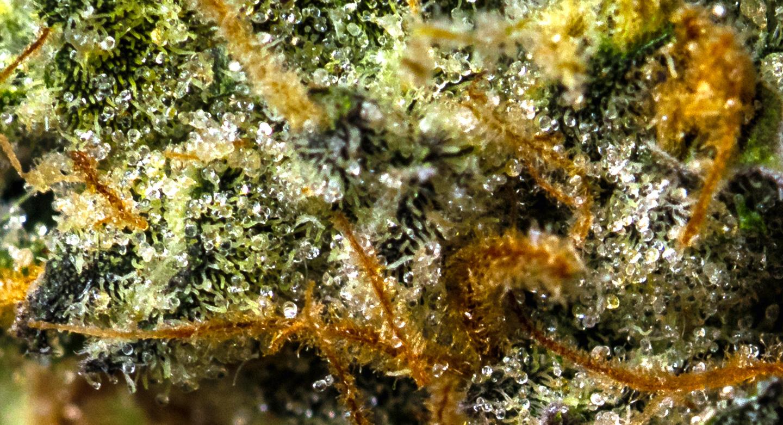 GMO - Wholesale Marijuana Center, Cannabis Supplier, CBD